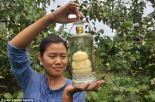 buddha-pear (4)
